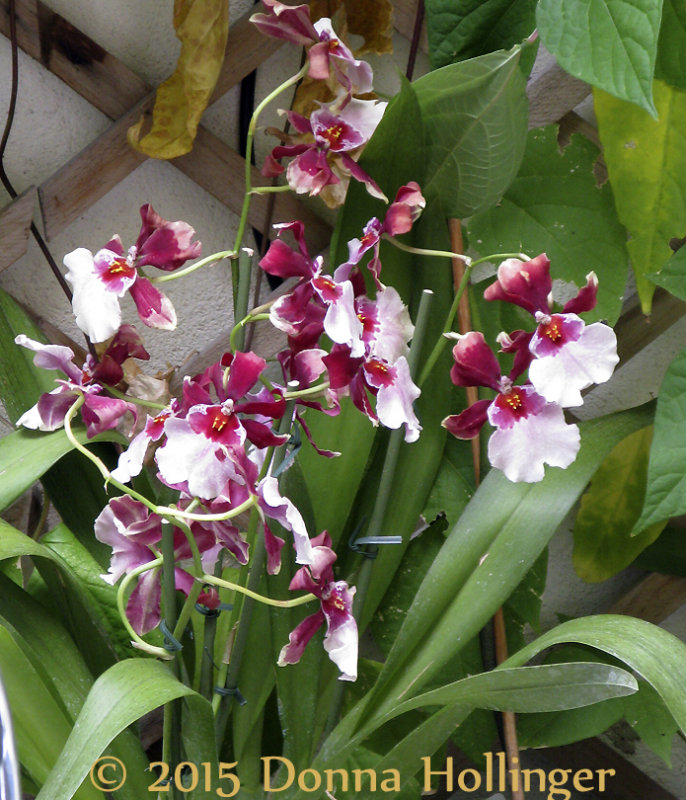 Marthas Orchid