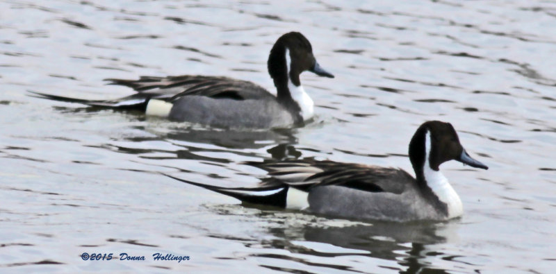 2 Male Pintails
