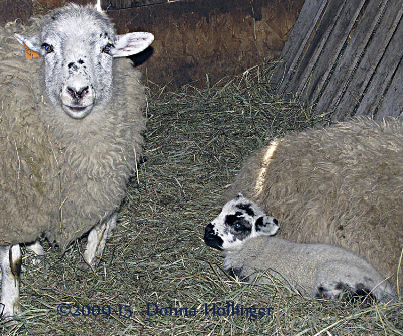 Windy Hill Farm, Mama and Baby Sheep