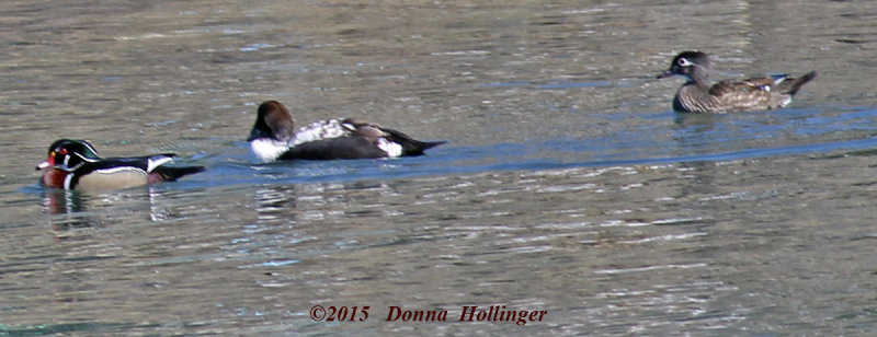 Wood Duck Pair and an Eider