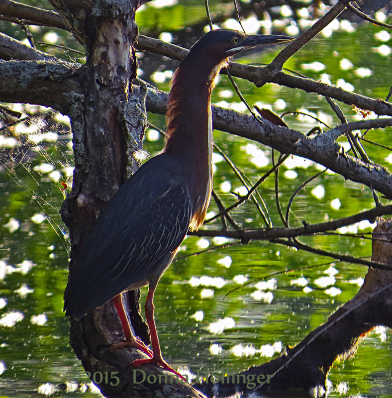 Green Heron at Fresh Pond