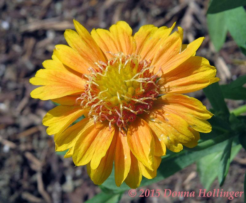 New Blanket Flower in Driveway Garden