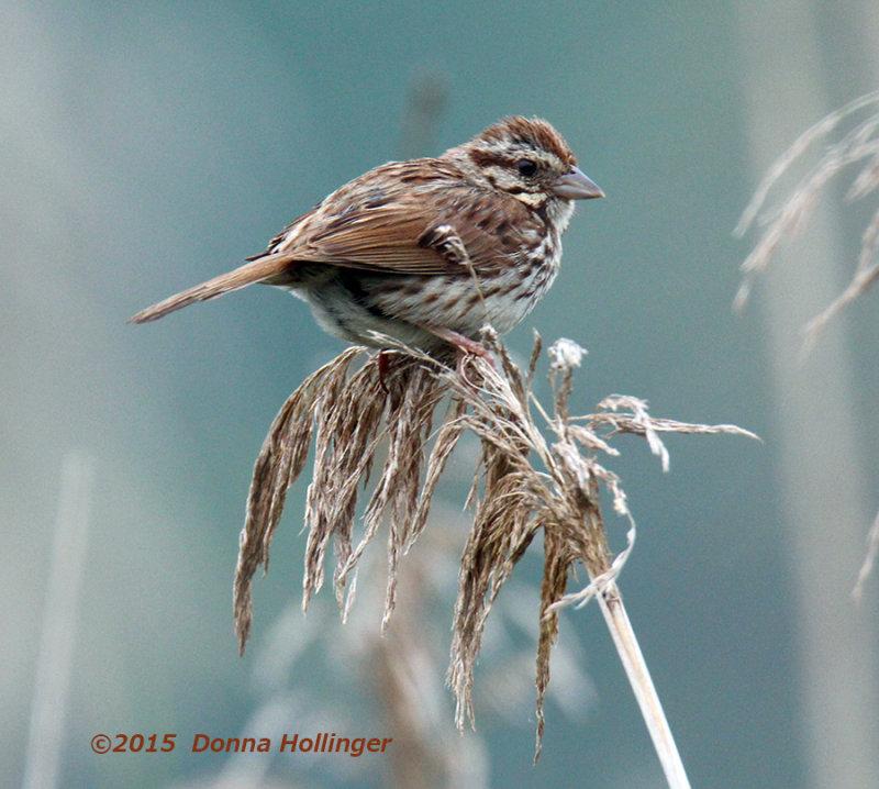 Swamp Sparrow on Phragmites