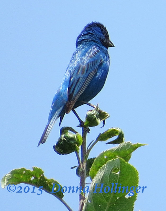 Indigo Bunting Male At the Tippity Top of the Apple Tree