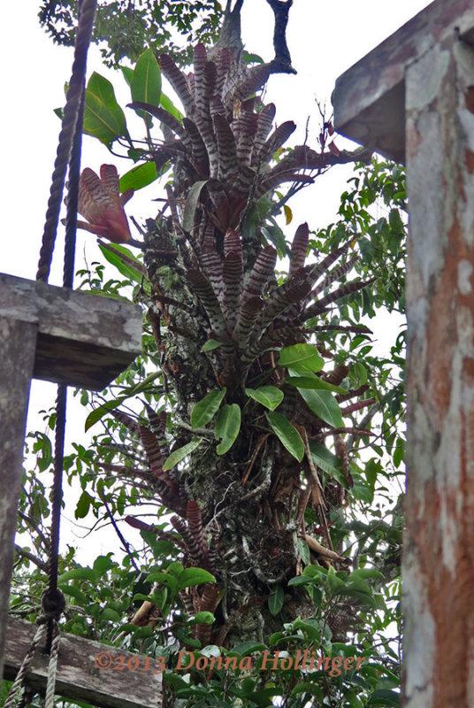 Bromeliads Climbing up the Tree beside the Canopy Walk