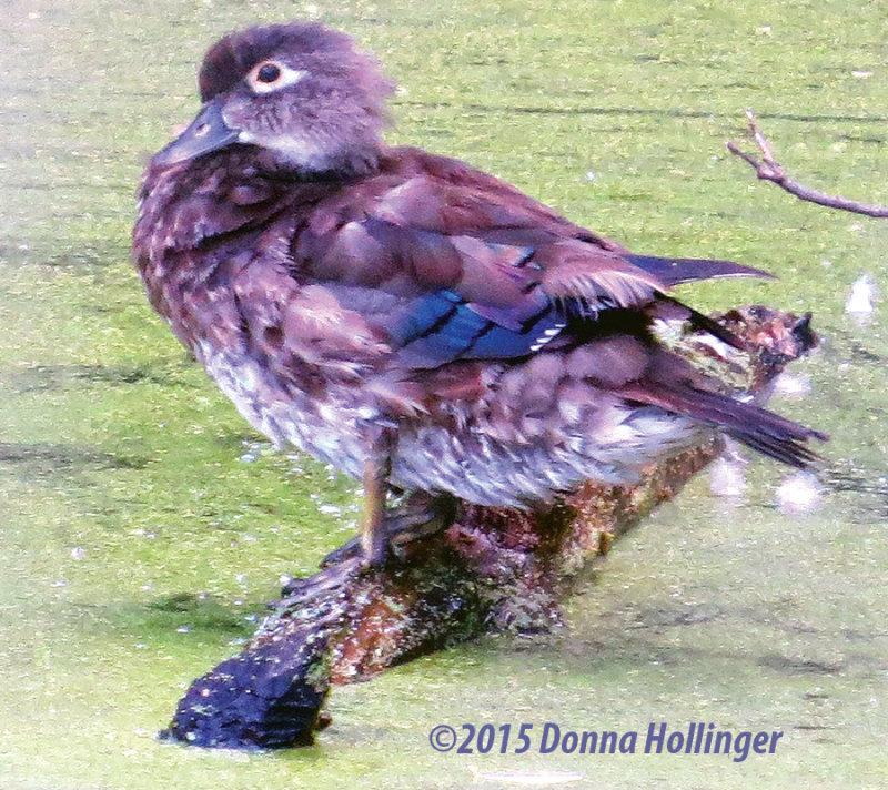 Female Wood Duck Shedding some fluff