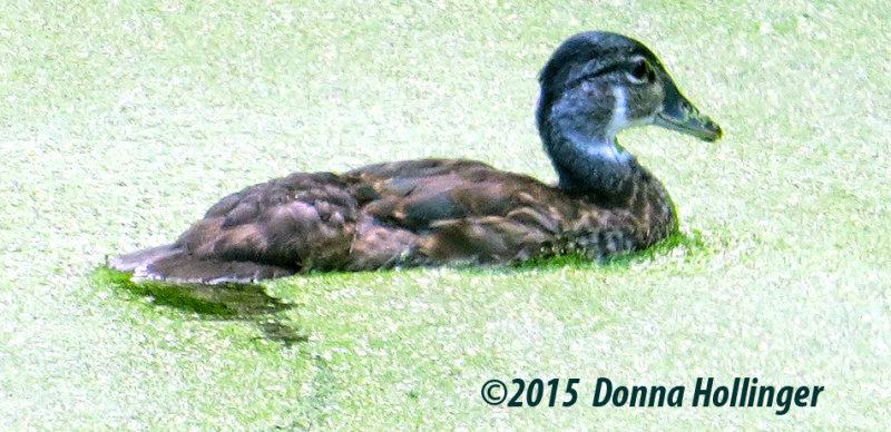 Immature Woodduck in Duckweed