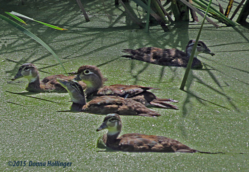Mummy and Four  Wood Ducklings