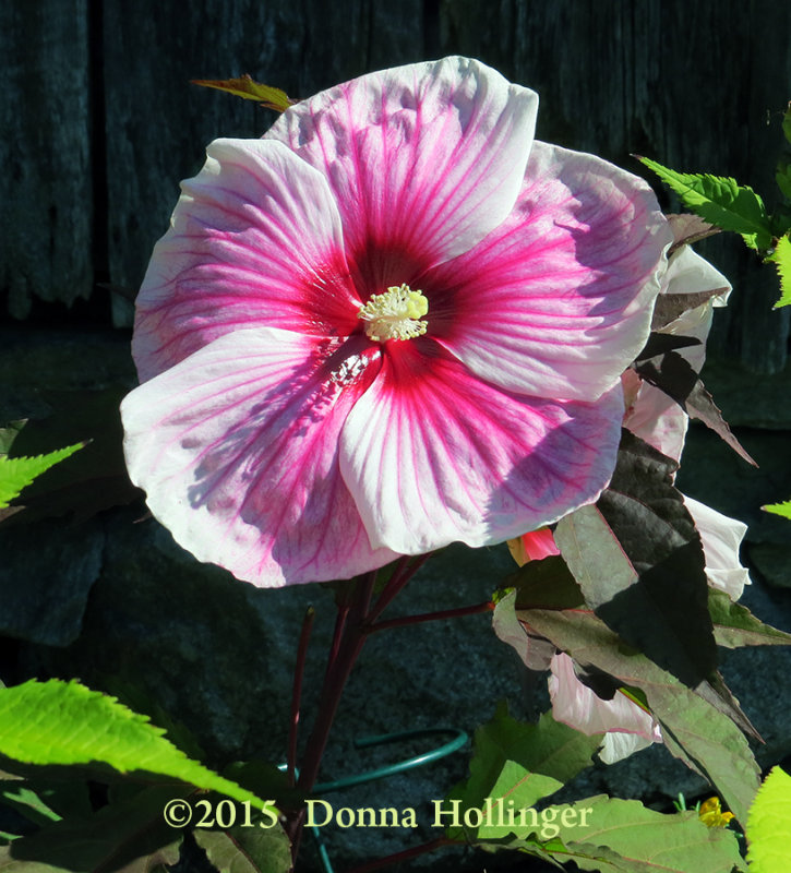 Hibiscus Flower Plate Sized