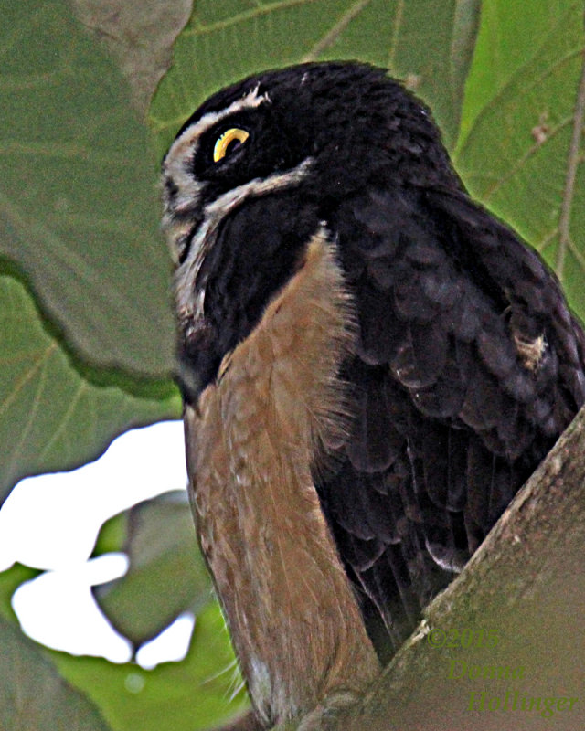 Spectacled Owl (immature has a buff breast)
