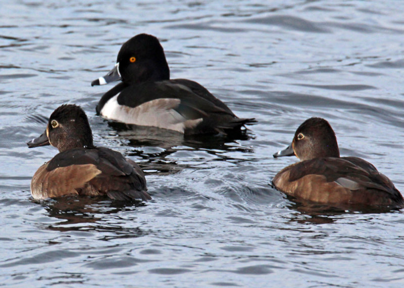 Ring-neck Duck male and two females