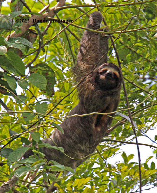 Three Toed Sloth (male)