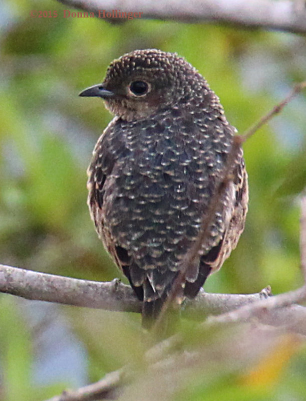 Female Blue Cotinga