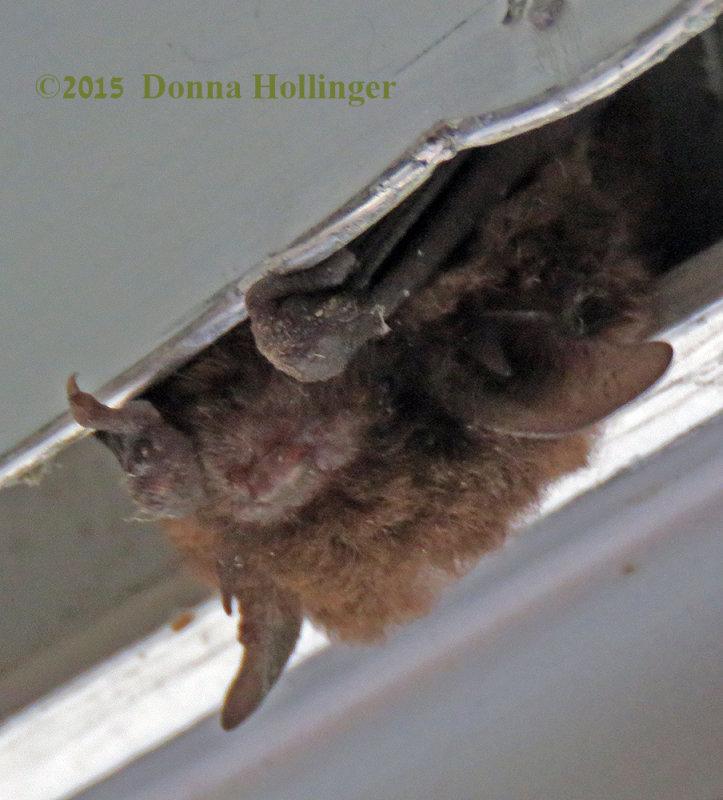 A Little Brown Bat
