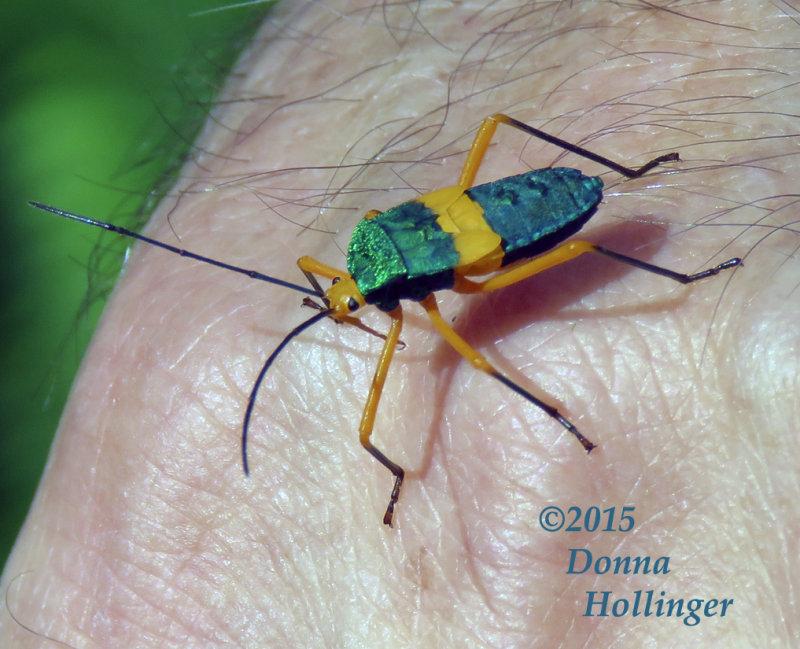 Panamanian  Green Bug