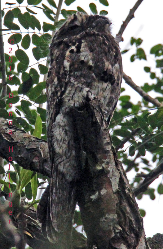 Common Potoo with his Eye Open!