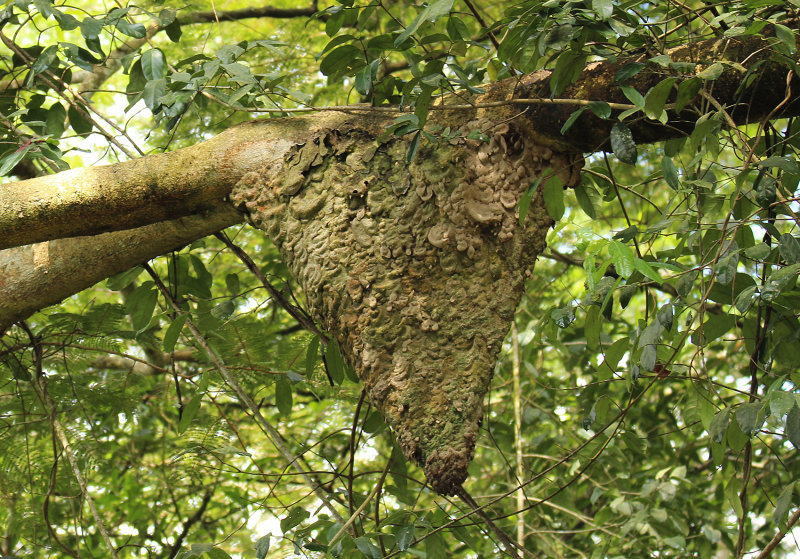 Termite Nest on a Tree