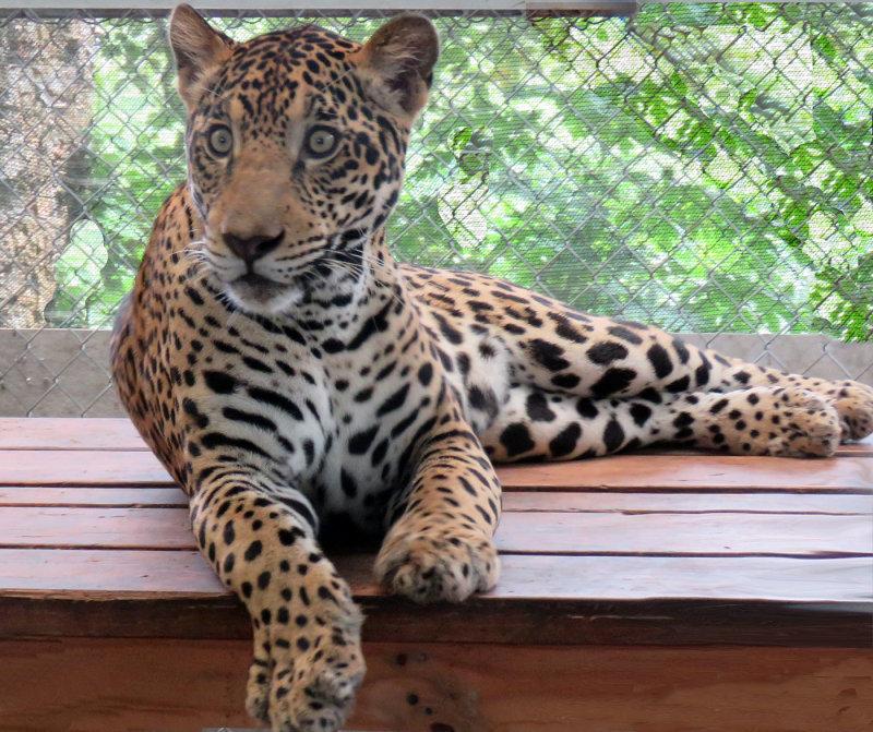 Fiona, A Rescued Jaguar in Panama