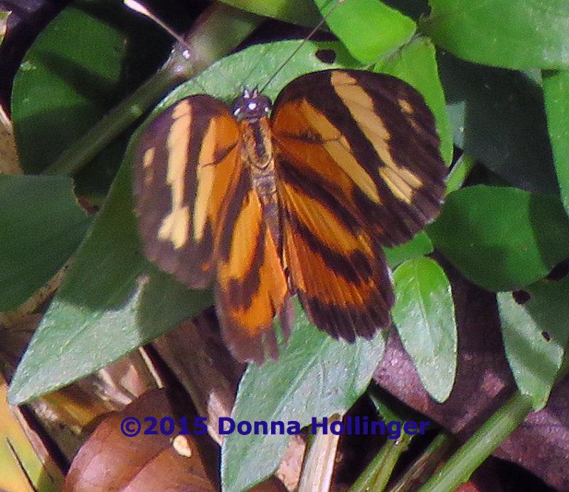 Butterfly in Gamboa Resort