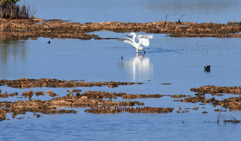 White Morph of a Reddish Egret