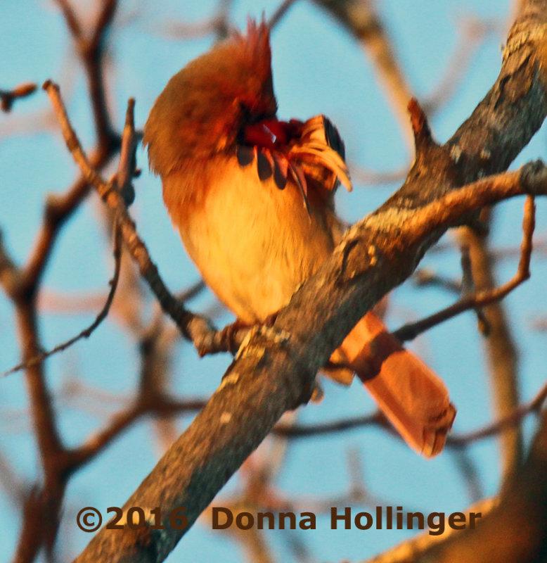 Female Cardinal in the Setting Sun
