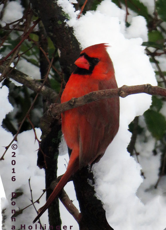Rotated Cardinal in Holly Bush