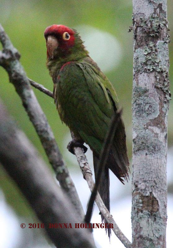 Red-Masked Parakeet (<i>Psittacara erythrogenys</i>)