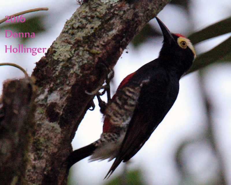 Yellow tufted Woodpecker