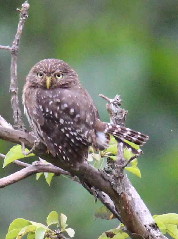 Cloud-forest Pygmy Owl