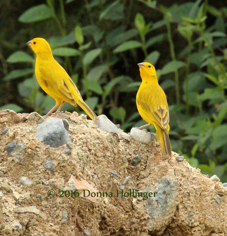 Two Saffron Finches very bold!