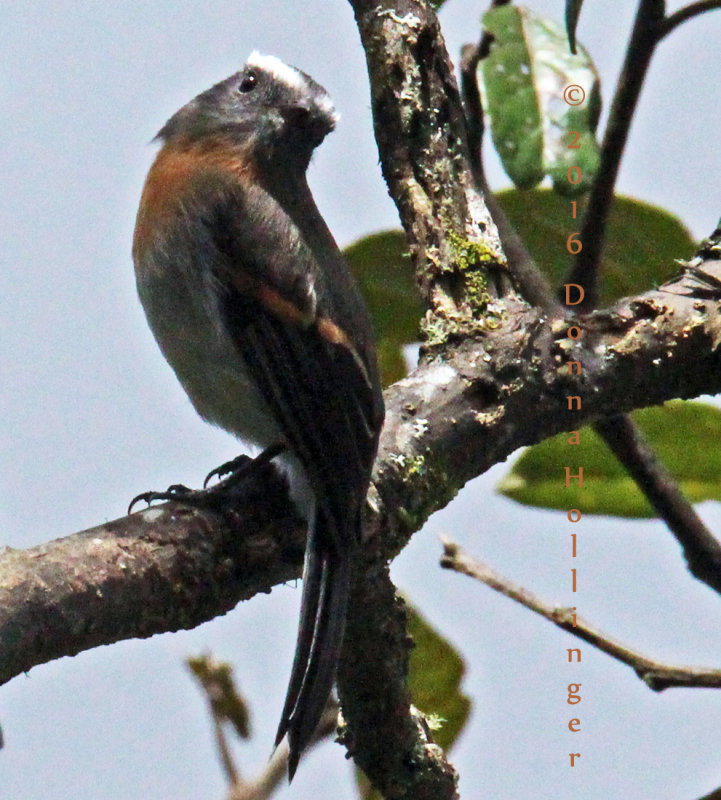 Slaty-backed Chat-Tyrant (this guy has a supraloral)