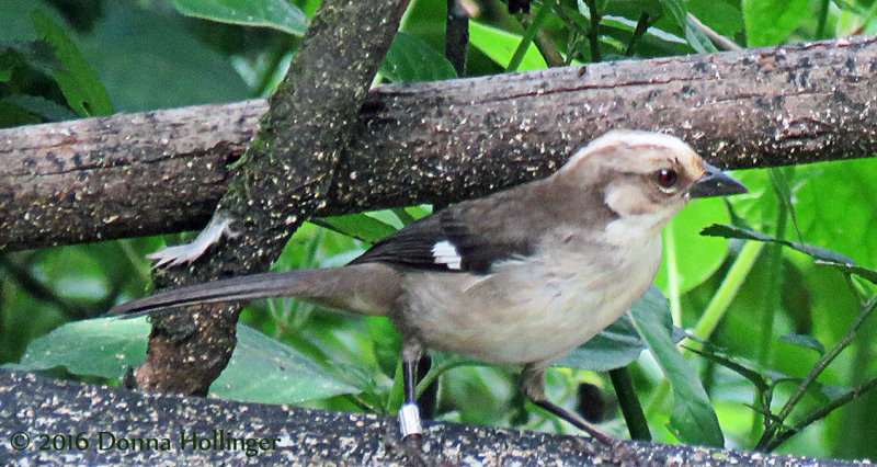 Pale-headed Brush-Finch (Atlapetes pallidiceps)