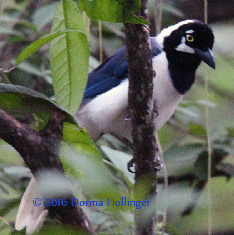 White-Tailed Jay (Cyanocorax mystacalis)