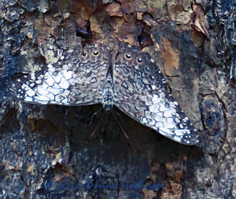 Hamadryas amphichloe Pale Cracker