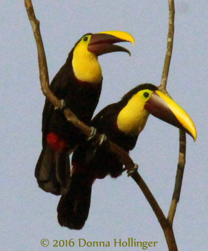 Two Chestnut-Mandibled Toucans