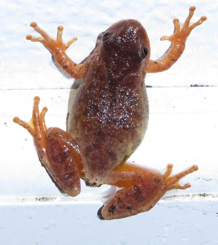 Last night in the rain, a Spring Peeper