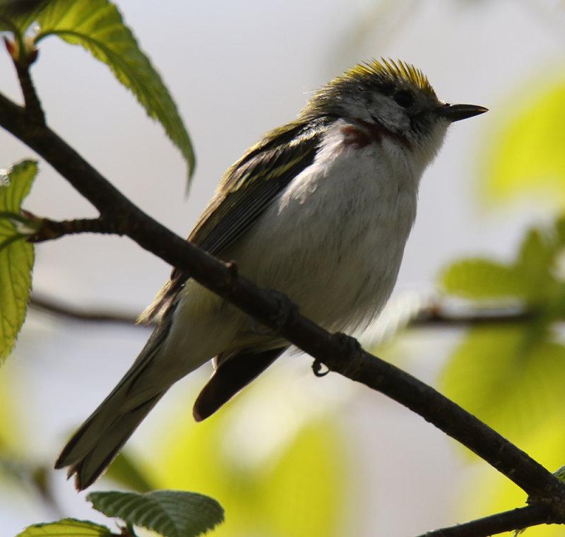 Chestnut Sided Warbler Female