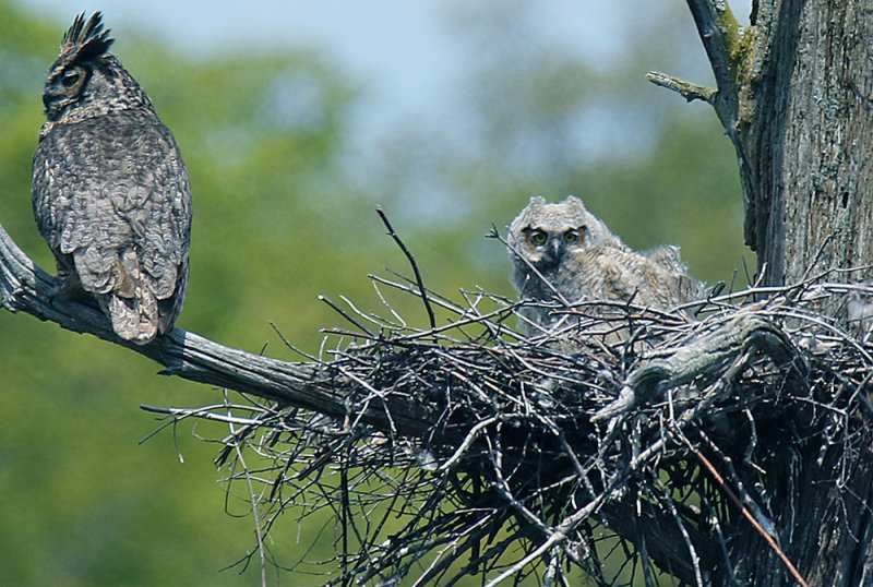 in the wind, Great Horned Adult and Owlet