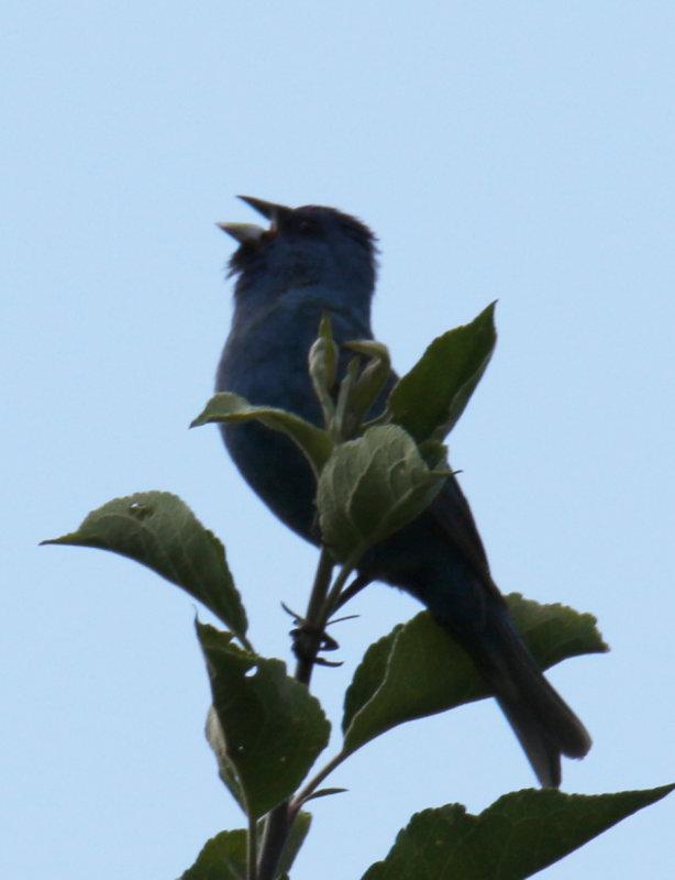 Singing Male Indigo Bunting