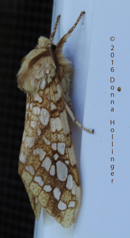 Night Visitor:  Hickory Tussock Moth