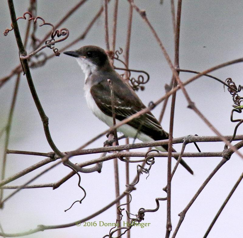 Kingbird on the Connecticut River