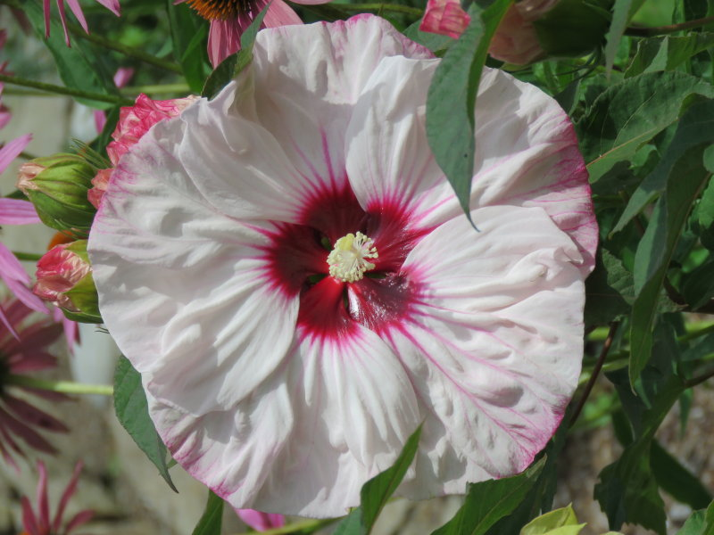 Dinnerplate Sized Hibiscus 2016