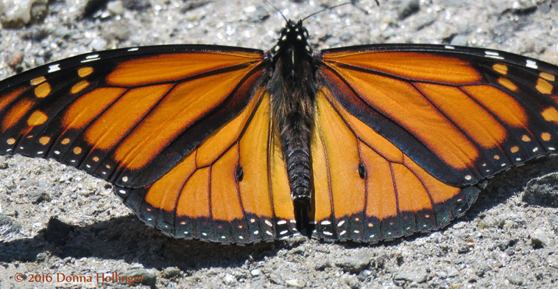 Monarch Butterfly today