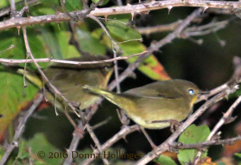 Two Common YellowThroat Females