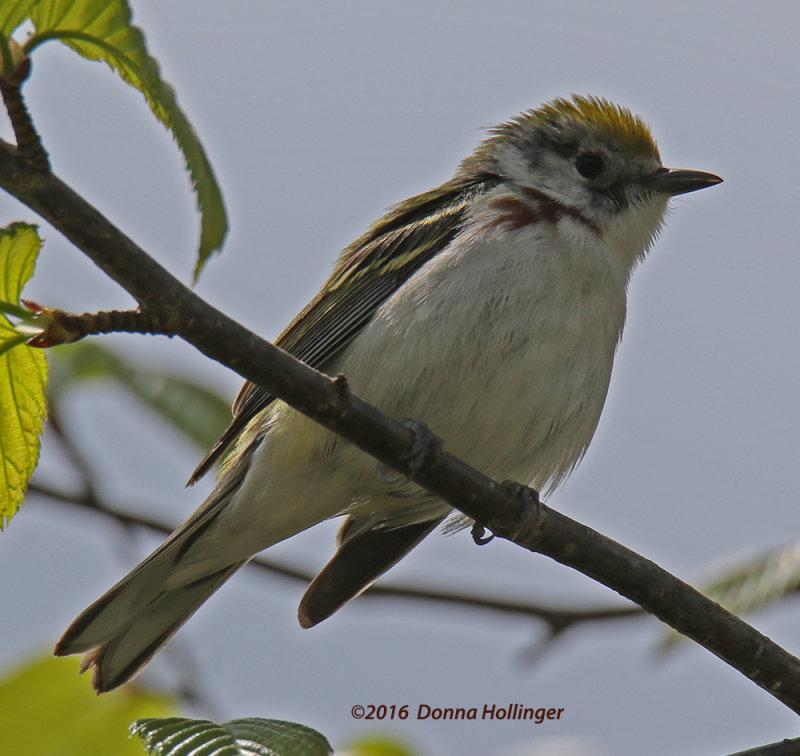 Female Chestnut Sided Warbler