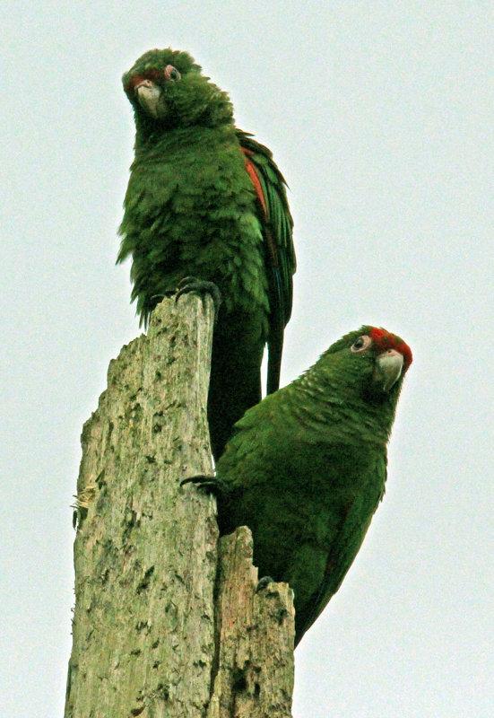 Two Oro Parakeets