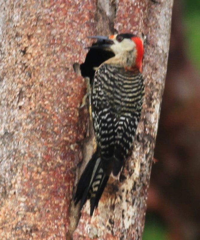 West Indian Woodpecker (Melanerpes superciliaris) Male