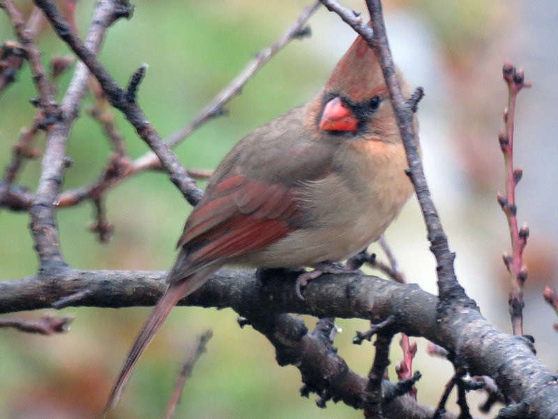 Female Cardinal in the Peach Tree