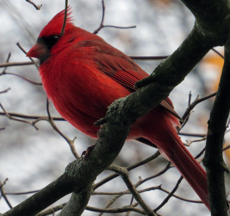 Females Husband Cardinal