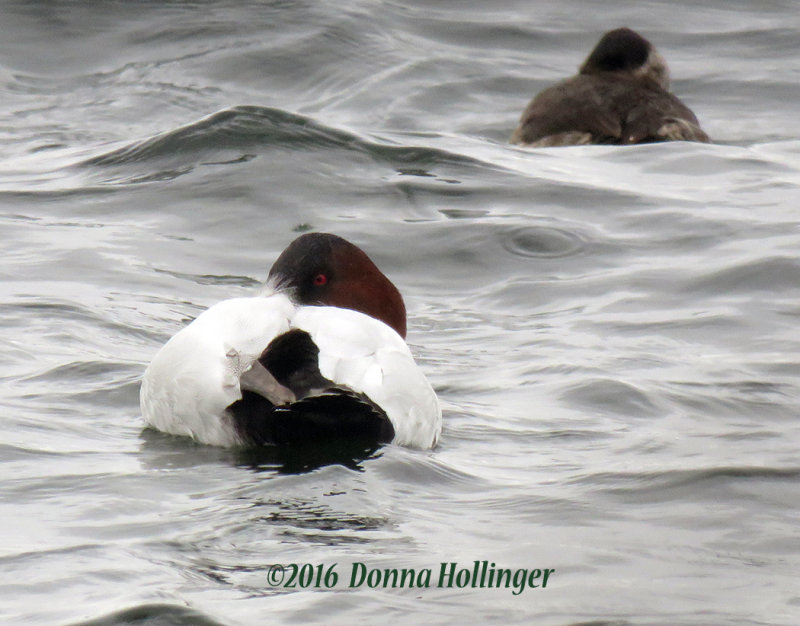 Canvasback and a Ruddy sleeping in the Rain
